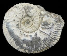 "2"" Wide Kosmoceras Ammonite - England For Sale, #60302"