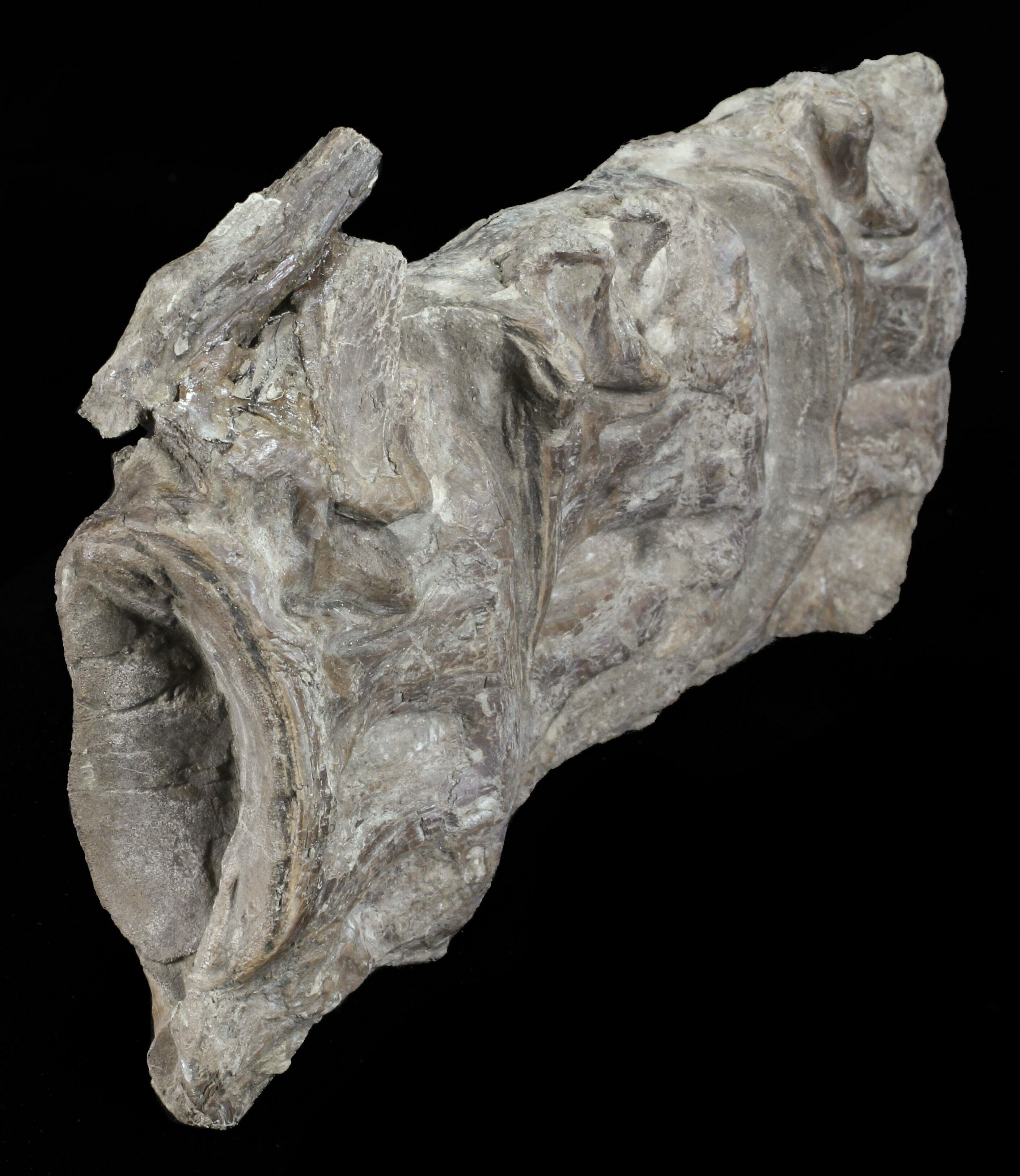 "4.7"" Three Fused Xiphactinus Vertebra - Kansas For Sale ..."