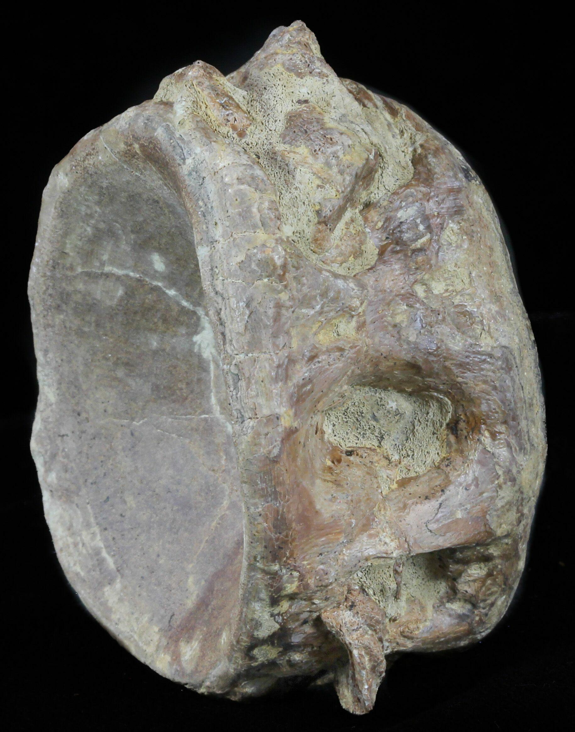 "2.2"" Xiphactinus (Cretaceous Fish) Vertebra - Kansas For ..."