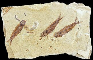 Multiple Knightia Fossil Fish - Wyoming For Sale, #60800