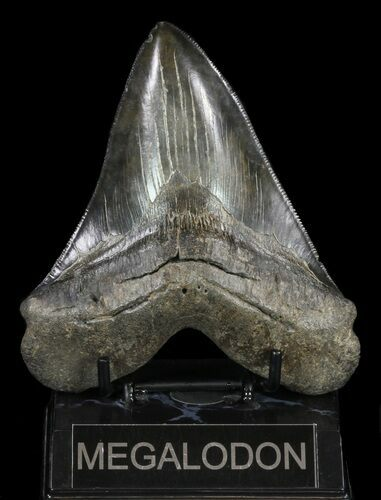 "Serrated, 5.11"" Fossil Megalodon Tooth - Georgia"