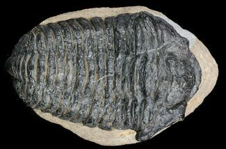 Calymene sp. - Fossils For Sale - #56043