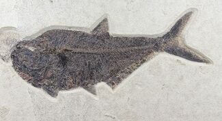 "Buy Huge, 18"" Diplomystus Fish Fossil - Wyoming - #60982"