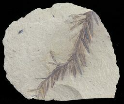 Buy Metasequoia (Dawn Redwood) Fossil - Montana  - #62284