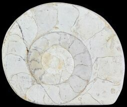 "2.2"" Cut and Polished Lower Jurassic Ammonite - England For Sale, #62558"