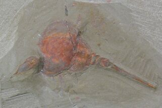 "1.25"" Xiphosurida Arthropod - Horseshoe Crab Ancestor For Sale, #62660"