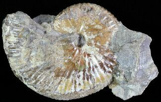 "1.9"" Iridescent Hoploscaphites Ammonite - South Dakota For Sale, #62606"