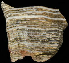 "3.9"" Strelley Pool Stromatolite - 3.43 Billion Years Old For Sale, #62759"