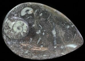 "8"" Fossil Orthoceras & Goniatite Plate - Stoneware For Sale, #62471"
