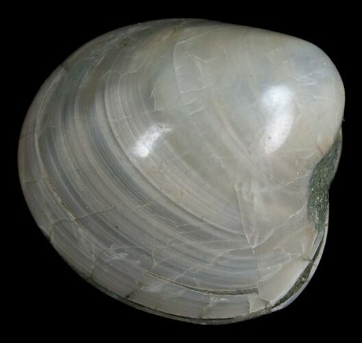 Polished Fossil Clam - Small Size