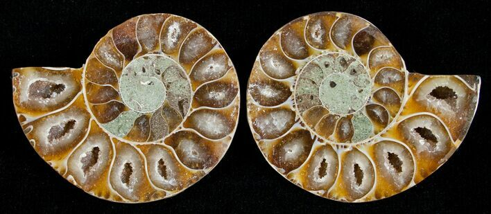 Small Desmoceras Ammonite Pair