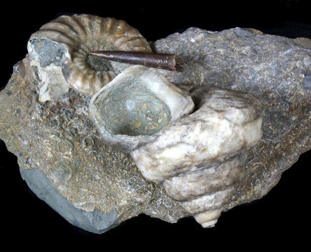 Fantastic Association (Gastropod, Ammonite, Belemnite) - England