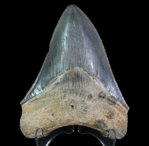 "Serrated, 3.72"" Fossil Megalodon Tooth"