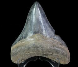 "Buy Serrated, 3.58"" Fossil Megalodon Tooth - #64558"