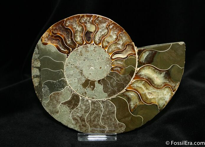 5.9 Inch Wide Halved Ammonite From Madagascar