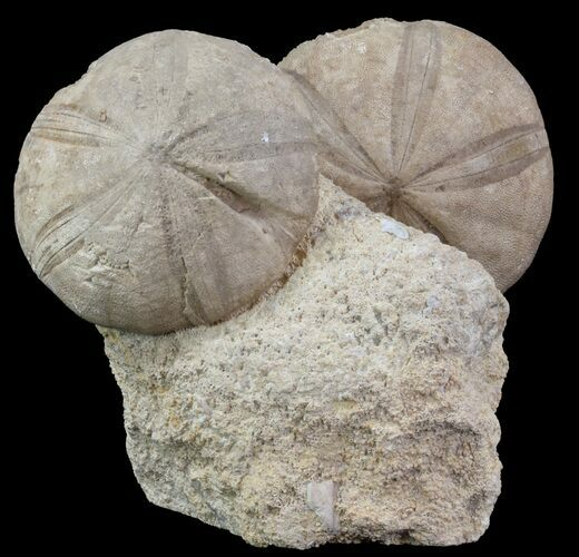 Displayable Fossil Sea Urchins (Clypeus) - England
