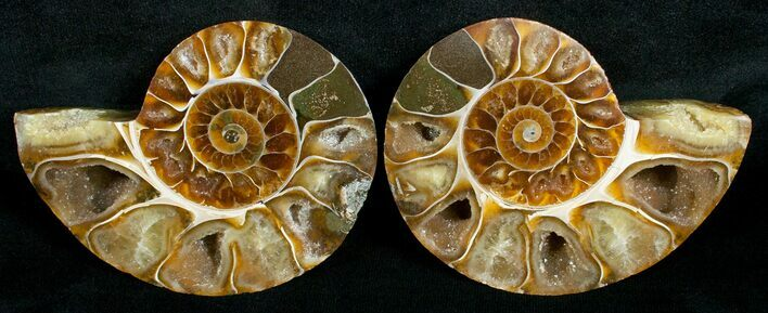 Cut & Polished Desmoceras Ammonite - 3.2""