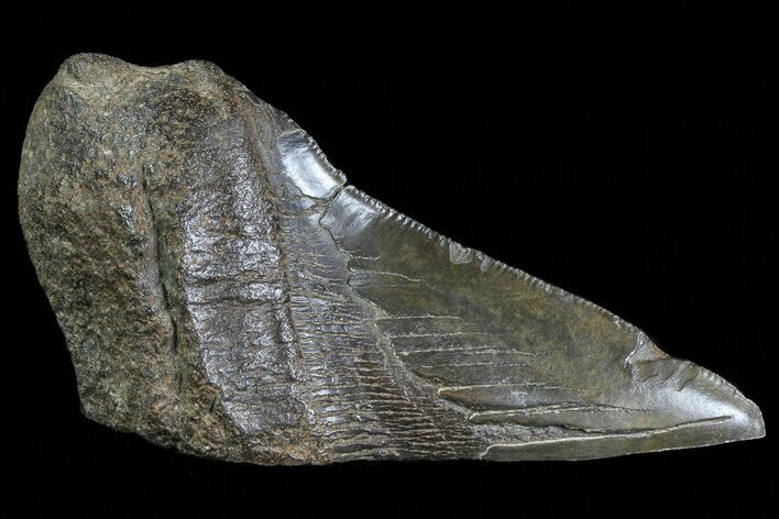 "4.67"" Fossil Megalodon Tooth ""Paper Weight"""