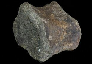 Edmontosaurus annectens - Fossils For Sale - #66474