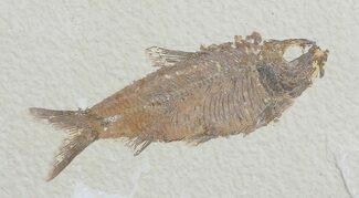 "3.5"" Knightia Fossil Fish - Wyoming For Sale, #66539"