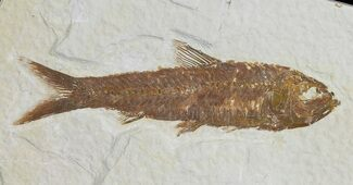 "3.1"" Knightia Fossil Fish - Wyoming For Sale, #66548"