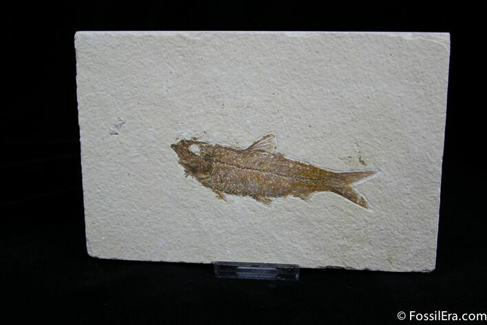 3.5 Inch Fossil Herring - Green River Formation
