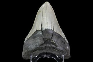 "Bargain, 4.65"" Megalodon Tooth - North Carolina For Sale, #67157"