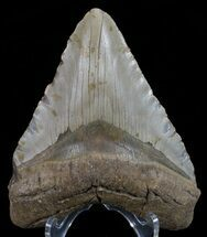 "Buy 4.76"" Megalodon Tooth - North Carolina - #67300"