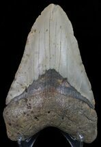 Carcharocles megalodon - Fossils For Sale - #67308