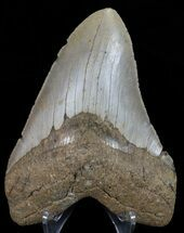 "Buy 5.23"" Megalodon Tooth - North Carolina - #67309"