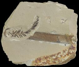 Metasequoia (Dawn Redwood) - Fossils For Sale - #67545