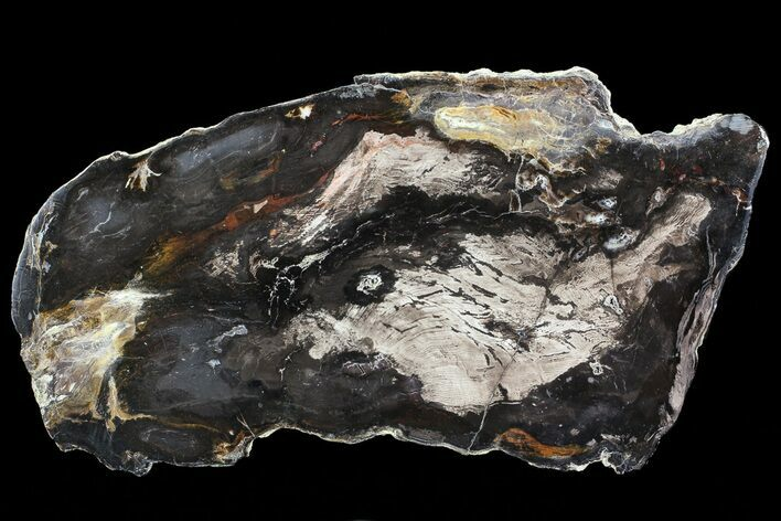 "11.6"" Polished Petrified Wood (Oak) Slab - Oregon"