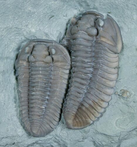 Two Huge, Oldenburg Flexicalymene Trilobites