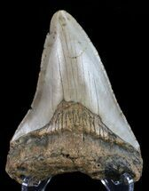 "Bargain, 3.71"" Megalodon Tooth - North Carolina For Sale, #68045"