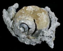 Beautiful Crystal Filled Fossil Whelk - Ruck's Pit For Sale, #5531