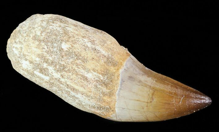 "4"" Rooted Mosasaur (Prognathodon) Tooth"