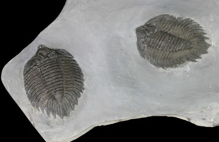 Killer, Double Arctinurus Trilobite Plate - New York