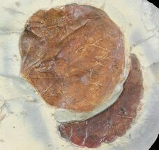 "1.8"" Detailed Fossil Leaf (Zizyphoides) - Montana For Sale, #68303"
