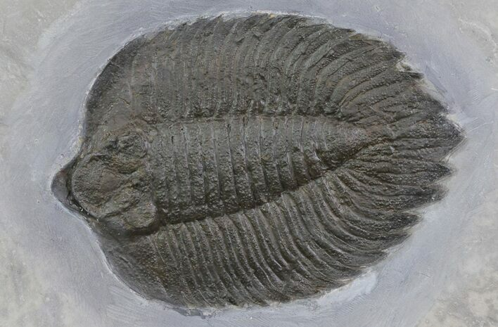 "4.6"" Arctinurus Trilobite From New York - (Special Price)"