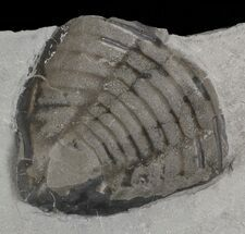 "2.5"" Trimerus Trilobite Tail - New York For Sale, #68567"