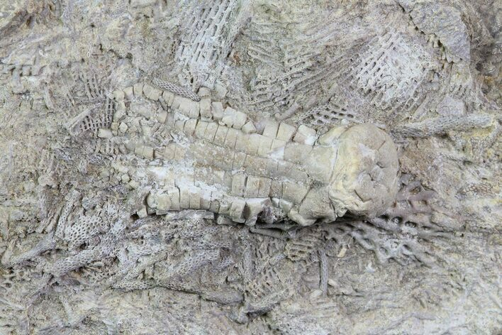 ".9"" Fossil Crinoid (Phanocrinus) in Rock - Alabama"