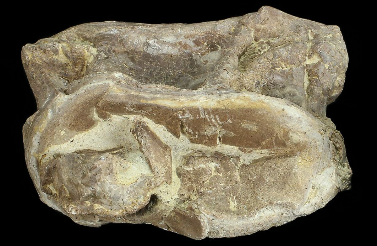 "2.5"" Xiphactinus (Cretaceous Fish) Vertebra - Kansas For ..."
