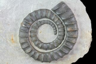 "4"" Devonian Ammonite (Anetoceras) - Morocco For Sale, #68789"