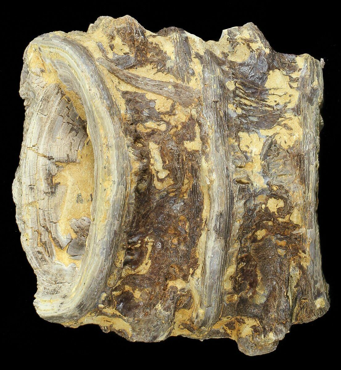 "2.5"" Two Associated Xiphactinus Vertebra - Kansas For Sale ..."