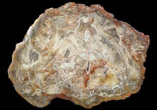 "18.5"" Colorful Petrified Wood Round - Madagascar For Sale, #69374"