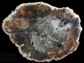 "Buy 19.2"" Colorful Petrified Wood Round - Madagascar - #69379"