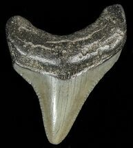 Carcharocles megalodon - Fossils For Sale - #69324