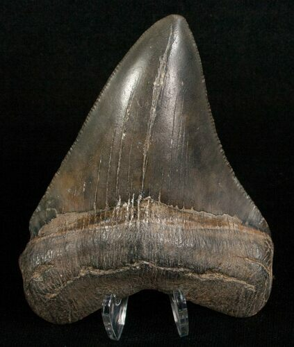 "Slightly Curved 3.28"" Megalodon Tooth"