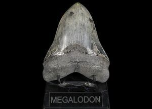 Carcharocles megalodon - Fossils For Sale - #69759