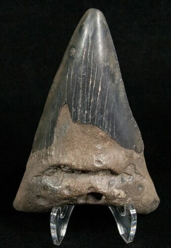 "Bargain 3"" Angustidens Tooth - Pre-Megalodon"